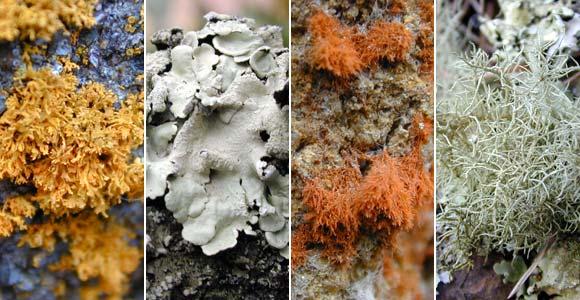 Examples of lichen species