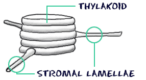relationship between grana thylakoids and chloroplasts for kids