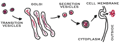 process of golgi forming vesicles