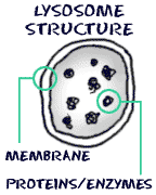Biology4Kids.com: Cell Structure: Lysosomes