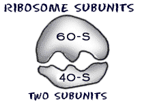 cell_ribosome2 biology4kids com cell structure ribosomes