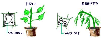 Vacuoles help plants maintain structure
