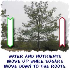 Sugars move down to the roots and water-nutrients move up to leaves