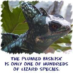 The plumed basilisk is...